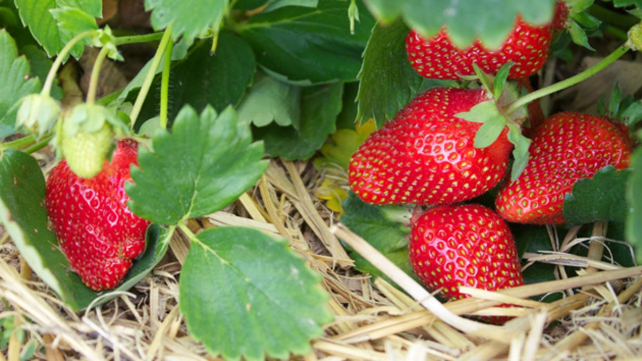 Aardbeien kweken in de moestuinbak