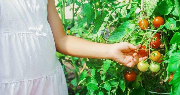 Groenten oogsten uit de moestuin