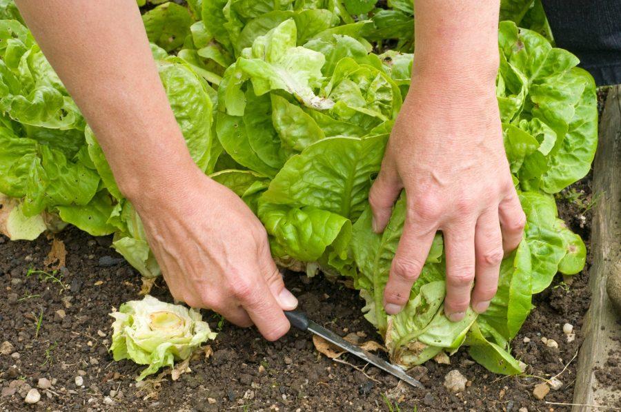Groenten planten in de moestuinbak