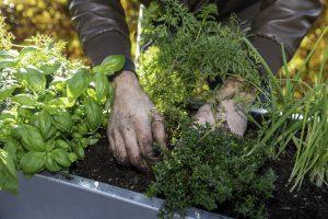 Kweken in een moestuinbak